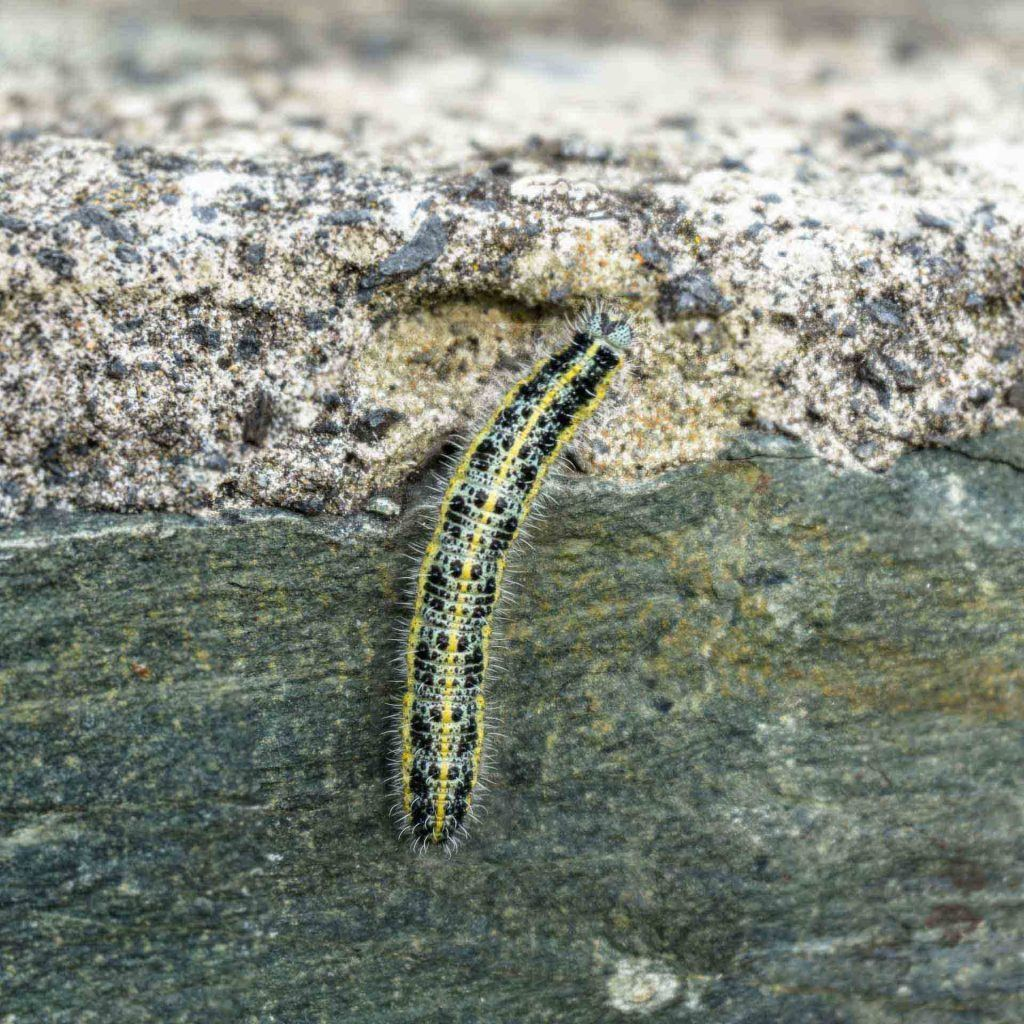 pieris-brassicae-5622-amanda-reid